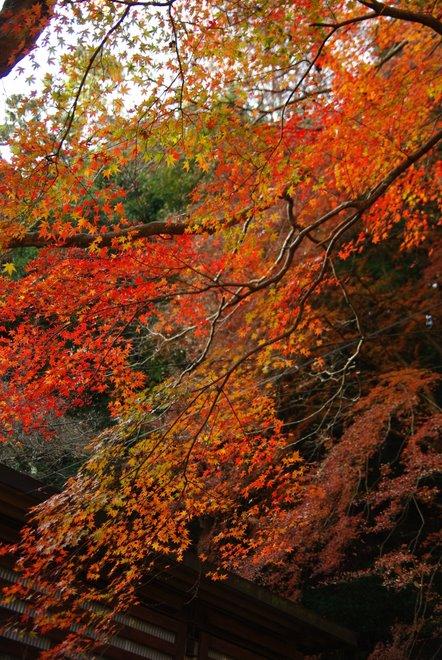晩秋の紅葉  香嵐渓_e0171336_22345742.jpg