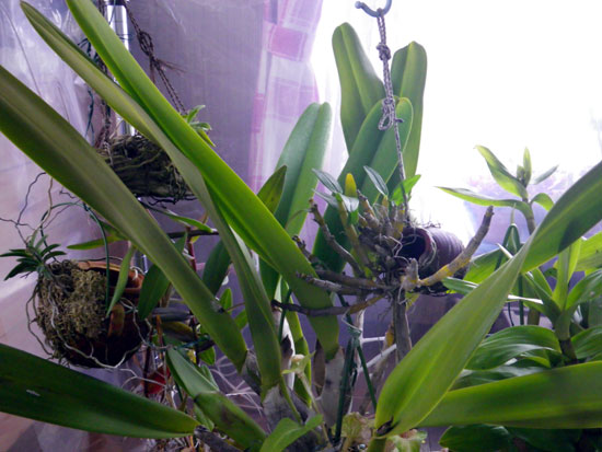 山野草から多肉植物まで、それぞれの冬越し♪ (画像差し替えあり)_a0136293_13365387.jpg