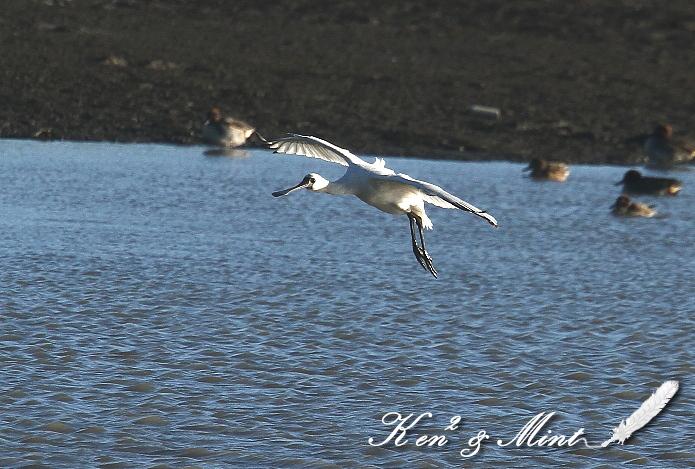 珍鳥「クロツラヘラサギ」さん 初見♪初撮り♪_e0218518_01328.jpg