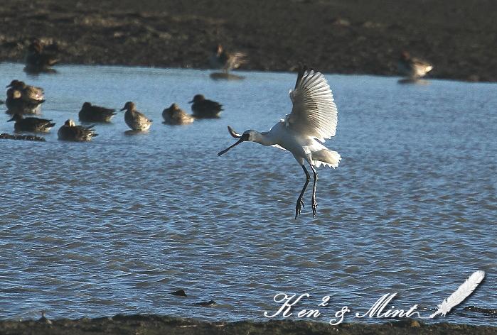 珍鳥「クロツラヘラサギ」さん 初見♪初撮り♪_e0218518_014565.jpg