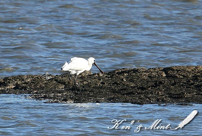珍鳥「クロツラヘラサギ」さん 初見♪初撮り♪_e0218518_021935.jpg
