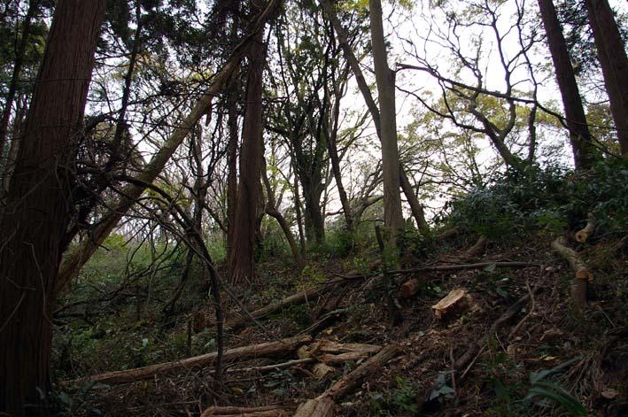 六国見山森林公園の夫婦桜近くを臨時手入れ(12・8)_c0014967_9175696.jpg