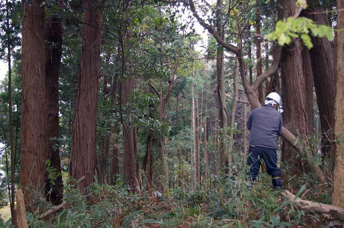 六国見山森林公園の夫婦桜近くを臨時手入れ(12・8)_c0014967_9252538.jpg