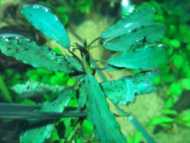 Bucephalandra sp.Sintang kayu lapis type1 細葉(LA便)_e0213248_2027477.jpg