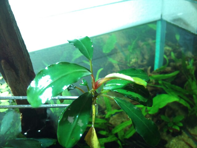 "Bucephalandra sp ""Deep Purple\"" from Kapuas +α_e0213248_2317897.jpg"