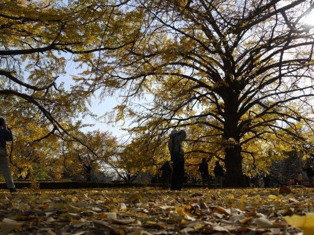 京都とはまた違う秋、新宿御苑の紅葉を見てきました_b0175688_1539166.jpg