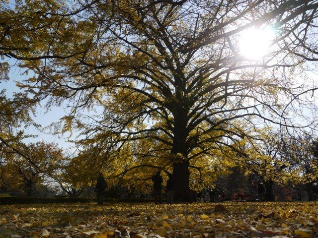京都とはまた違う秋、新宿御苑の紅葉を見てきました_b0175688_1539188.jpg
