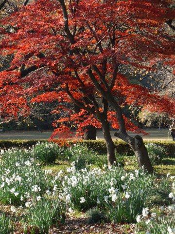 京都とはまた違う秋、新宿御苑の紅葉を見てきました_b0175688_15473859.jpg