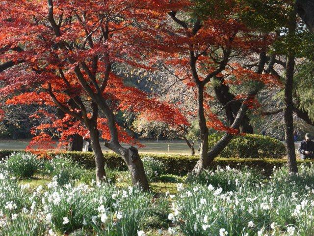 京都とはまた違う秋、新宿御苑の紅葉を見てきました_b0175688_15475144.jpg