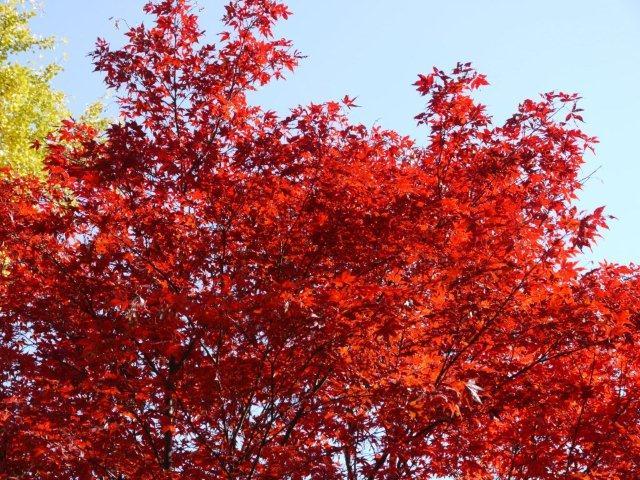 京都とはまた違う秋、新宿御苑の紅葉を見てきました_b0175688_833295.jpg