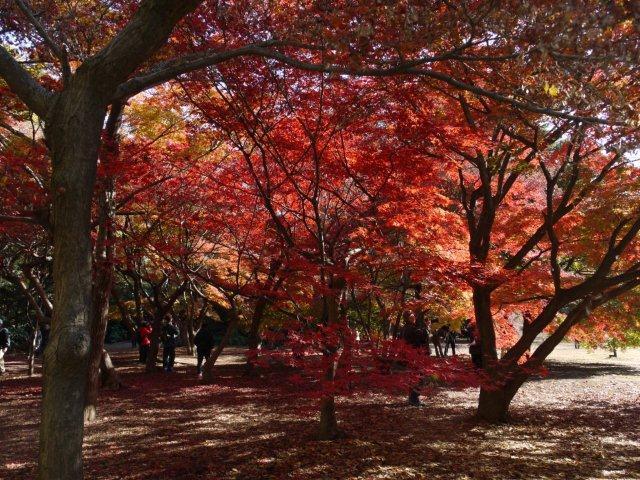 京都とはまた違う秋、新宿御苑の紅葉を見てきました_b0175688_8344717.jpg