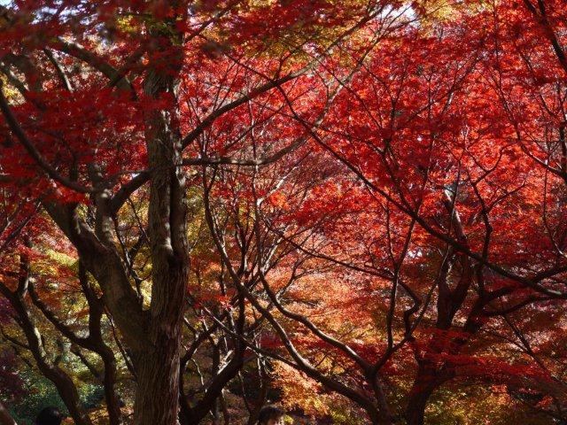 京都とはまた違う秋、新宿御苑の紅葉を見てきました_b0175688_8345775.jpg