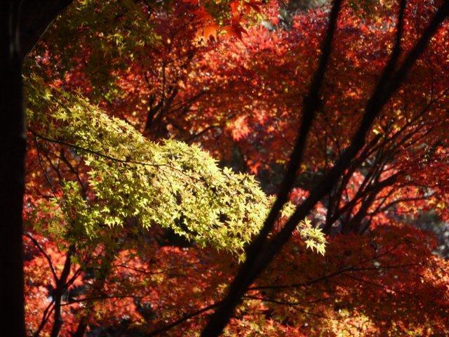 京都とはまた違う秋、新宿御苑の紅葉を見てきました_b0175688_835769.jpg