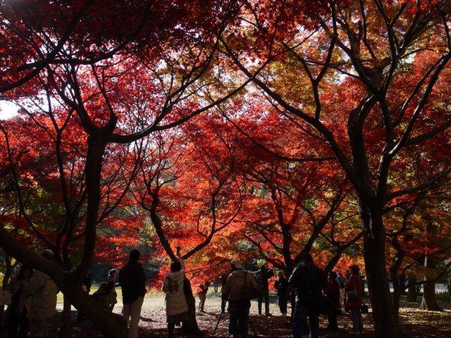 京都とはまた違う秋、新宿御苑の紅葉を見てきました_b0175688_837137.jpg