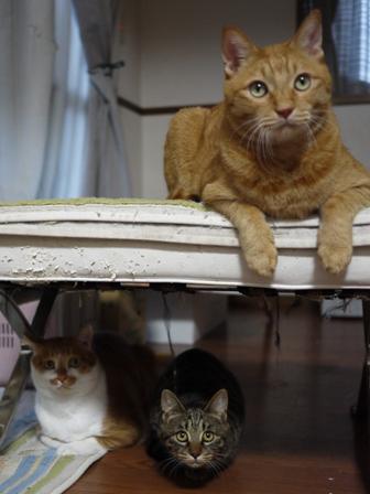 猫のお友だち ちゃーくんちょびくんペコちゃん編。_a0143140_03879.jpg