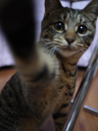 猫のお友だち ちゃーくんちょびくんペコちゃん編。_a0143140_0463733.jpg