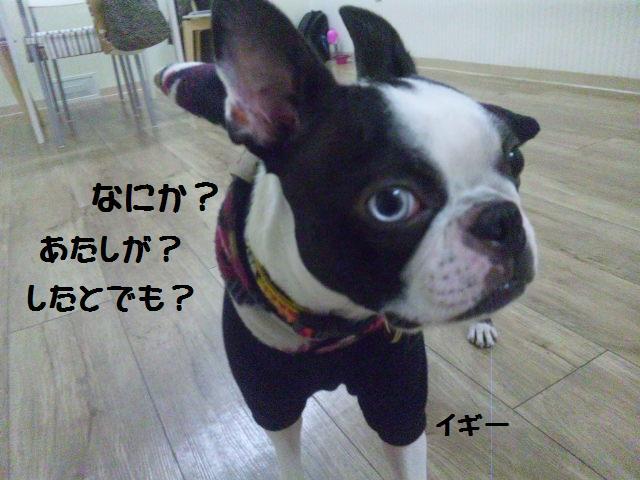 ★Cu;Bru の沖縄祭りに腹巻犬乱入★_d0187891_1029330.jpg