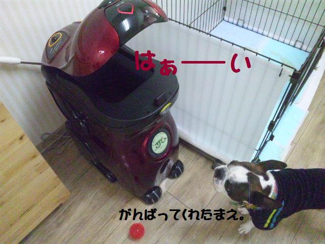 ★Cu;Bru の沖縄祭りに腹巻犬乱入★_d0187891_1030466.jpg