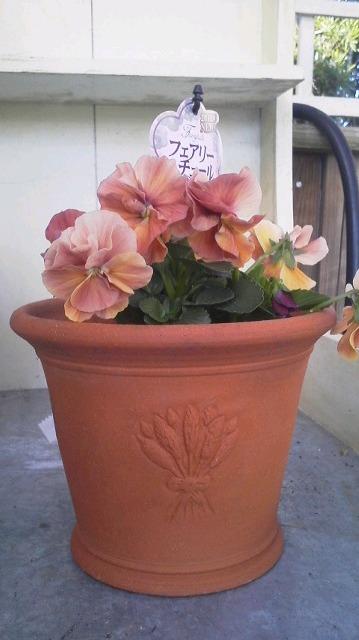 いままでの苦労が実って・・・・・・美しい花になりました・・・・・フェアリーチュール_b0137969_17221015.jpg