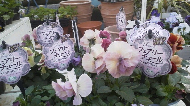 いままでの苦労が実って・・・・・・美しい花になりました・・・・・フェアリーチュール_b0137969_17431143.jpg