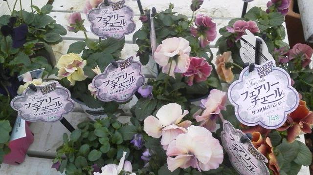 いままでの苦労が実って・・・・・・美しい花になりました・・・・・フェアリーチュール_b0137969_17442050.jpg