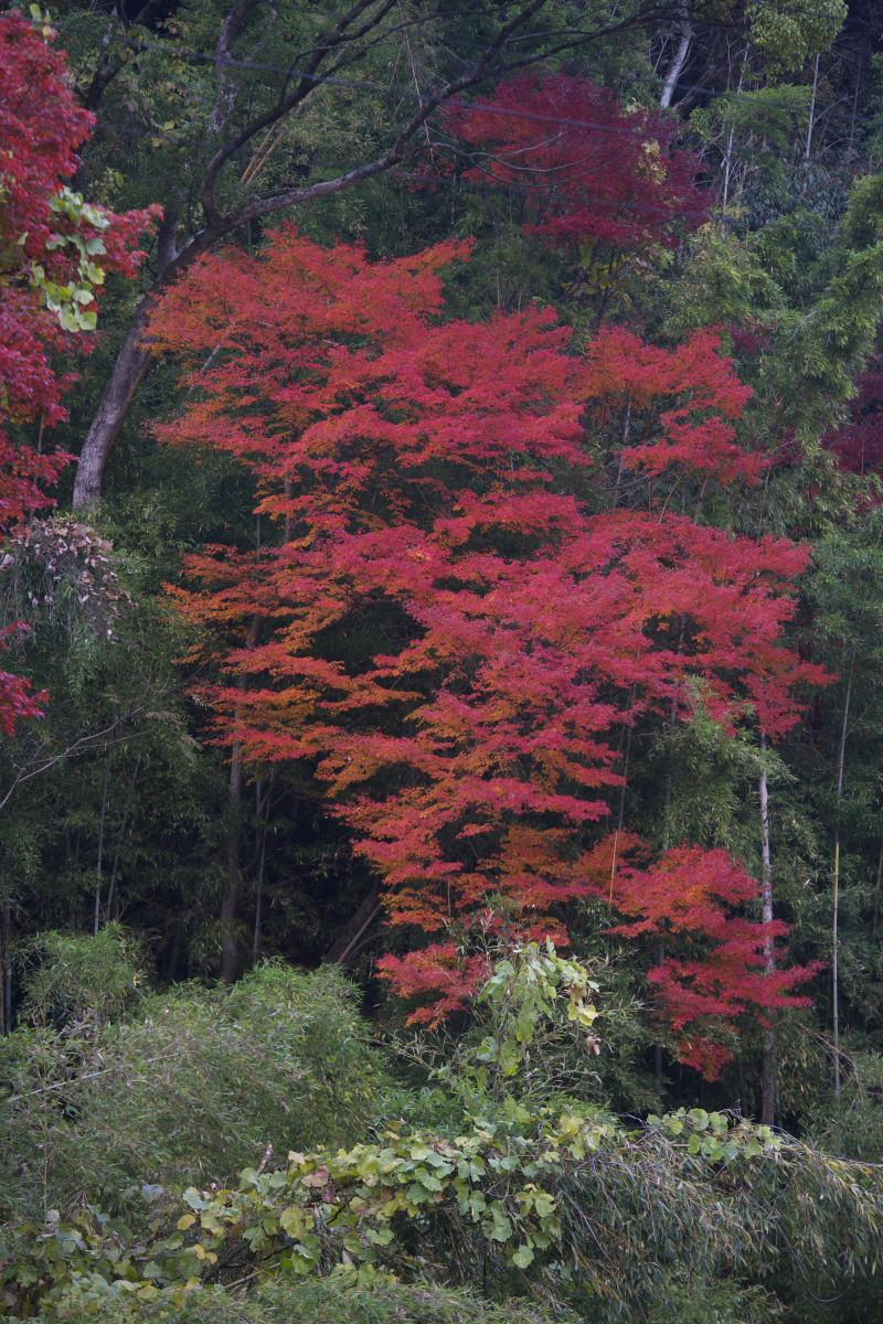 紅葉 2011 西山 大原野神社_f0021869_1227555.jpg