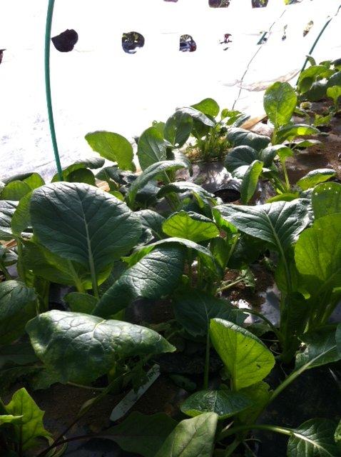 実は小松菜も作っています・・・サラダの隠し味・・_c0222448_12203288.jpg