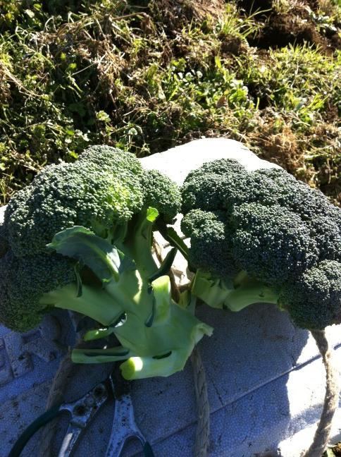 実は小松菜も作っています・・・サラダの隠し味・・_c0222448_12204054.jpg