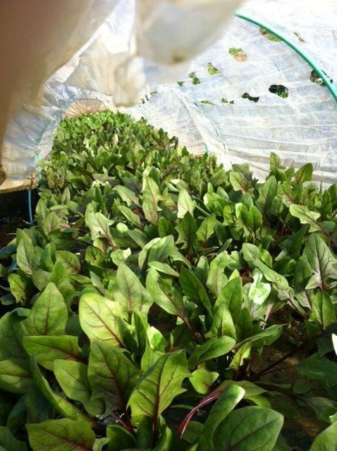 実は小松菜も作っています・・・サラダの隠し味・・_c0222448_12211451.jpg