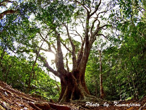 オキナワウラジロガシの巨木_b0192746_22354886.jpg