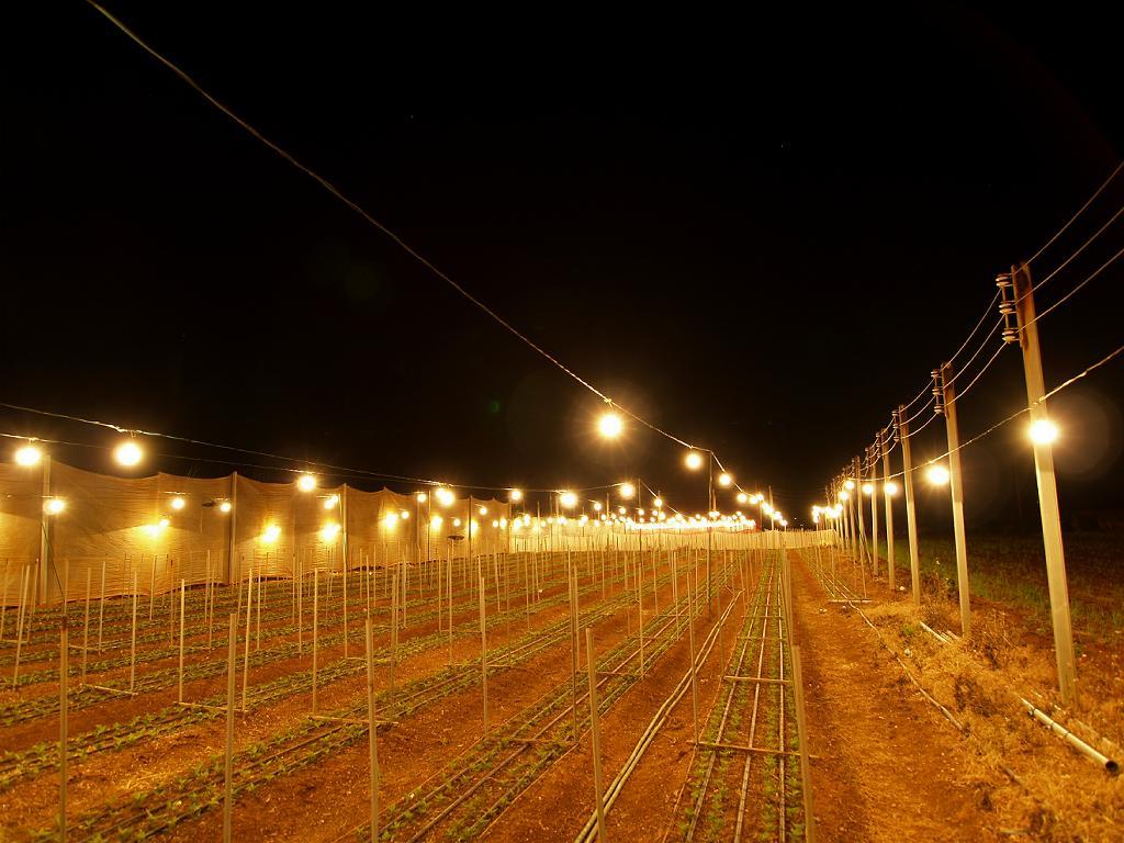 電照菊の光 : 牛龍さんのブログ