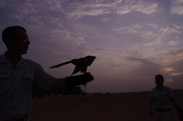 夜明けの鷹狩り(2)・・・ハヤブサの技_c0067690_6164427.jpg