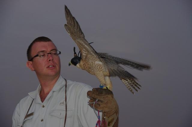夜明けの鷹狩り(2)・・・ハヤブサの技_c0067690_6215638.jpg
