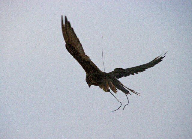 夜明けの鷹狩り(2)・・・ハヤブサの技_c0067690_6285634.jpg