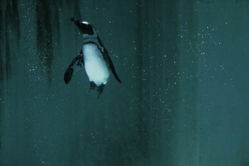 ケープペンギン:African Penguin_b0249597_939197.jpg