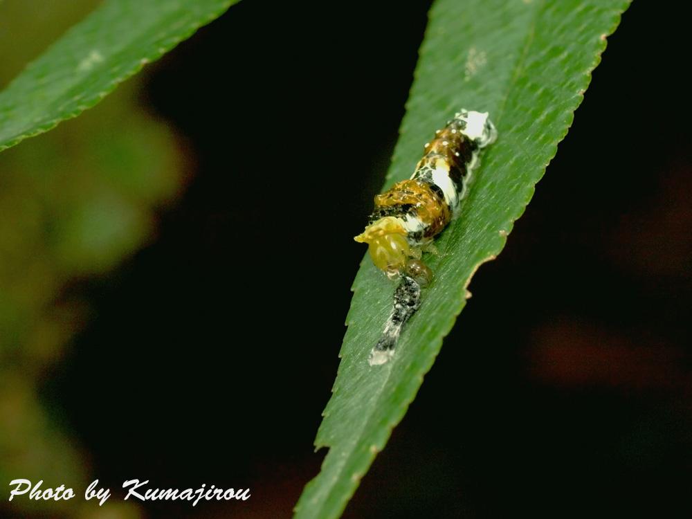 カラスザンショウとモンキアゲハの幼虫_b0192746_22381551.jpg