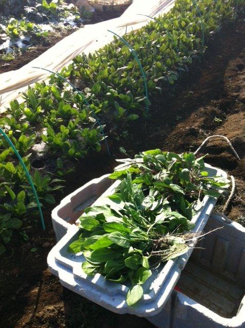 第2弾のホウレン草収穫始めます_c0222448_12284924.jpg