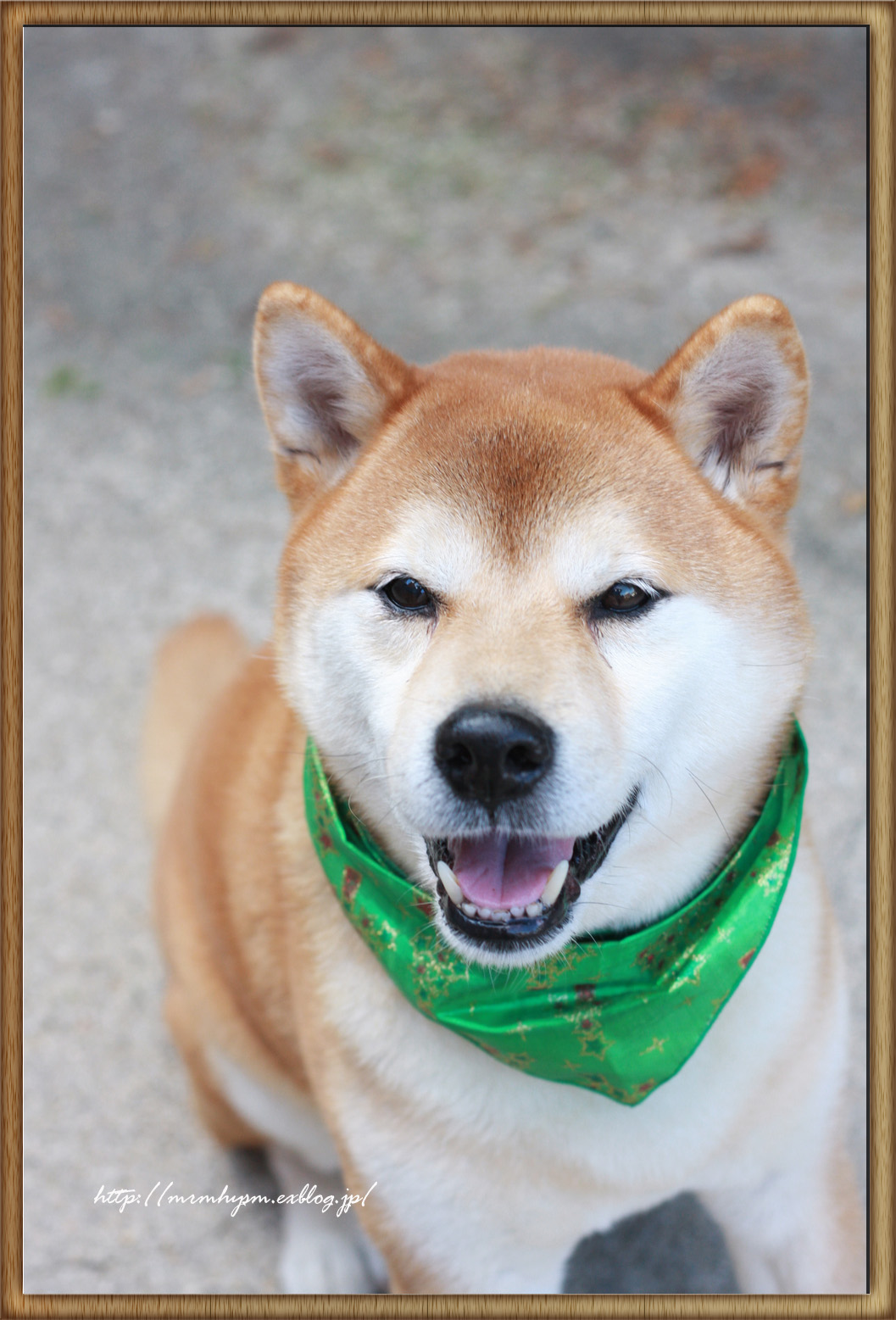 お正月といえば、柴犬!!だいちゃん撮影♪_b0123371_19545397.jpg