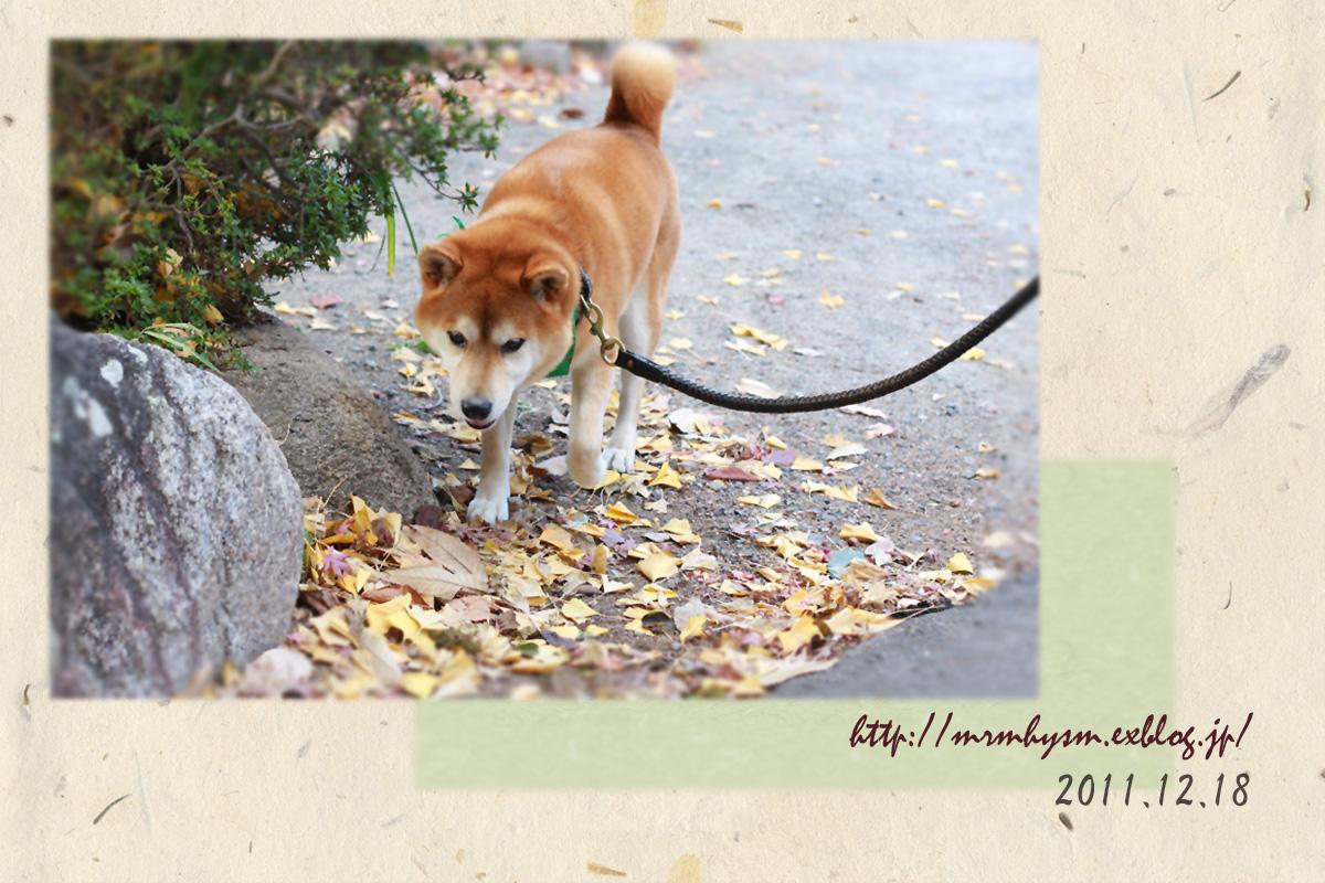 お正月といえば、柴犬!!だいちゃん撮影♪_b0123371_19551922.jpg