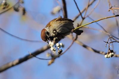 ★引き続き猛禽ラッシュ 先週末の鳥類園(2011.12.17~18)_e0046474_23465578.jpg