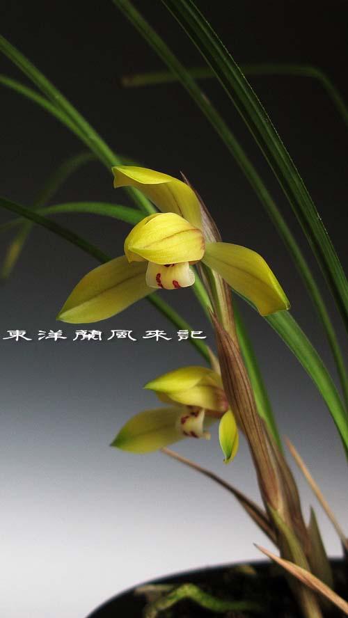 豆弁蘭「金馬黄」                    No.1094_d0103457_0143611.jpg