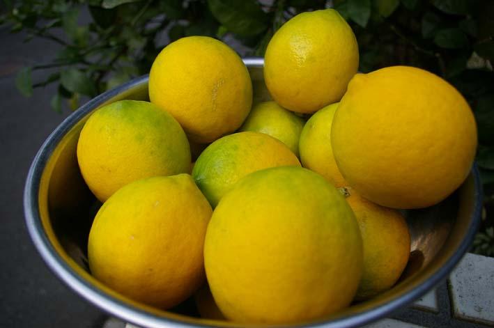 昨年より3週間以上遅れて自宅の庭のレモンを収穫:12・15_c0014967_19413411.jpg