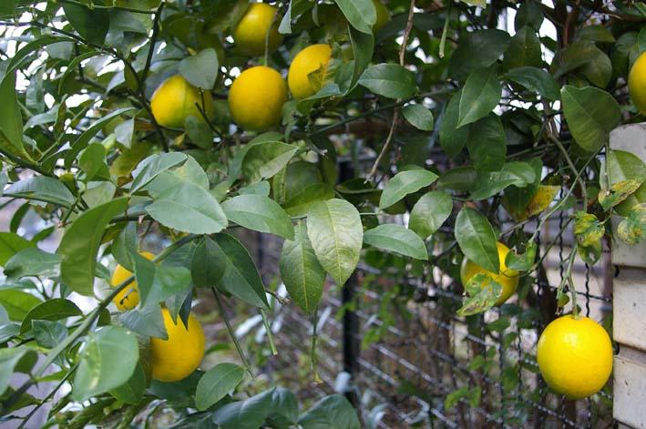 昨年より3週間以上遅れて自宅の庭のレモンを収穫:12・15_c0014967_19423917.jpg
