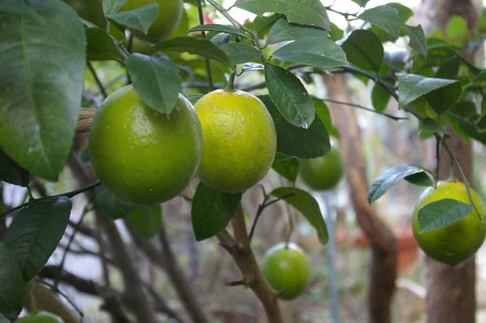 昨年より3週間以上遅れて自宅の庭のレモンを収穫:12・15_c0014967_19425813.jpg