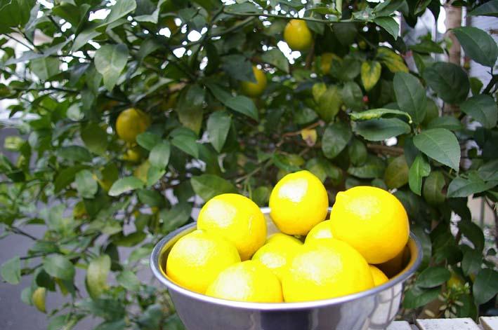昨年より3週間以上遅れて自宅の庭のレモンを収穫:12・15_c0014967_19431384.jpg