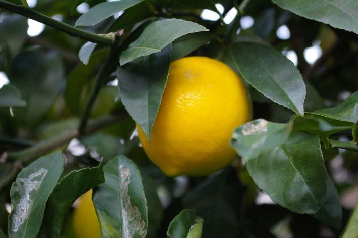 昨年より3週間以上遅れて自宅の庭のレモンを収穫:12・15_c0014967_19433053.jpg