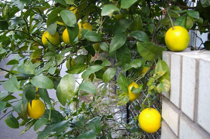 昨年より3週間以上遅れて自宅の庭のレモンを収穫:12・15_c0014967_19434644.jpg