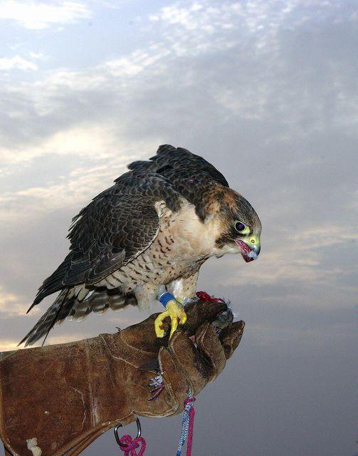 ハヤブサが鳥を食らう・・鷹狩(4)_c0067690_6345498.jpg