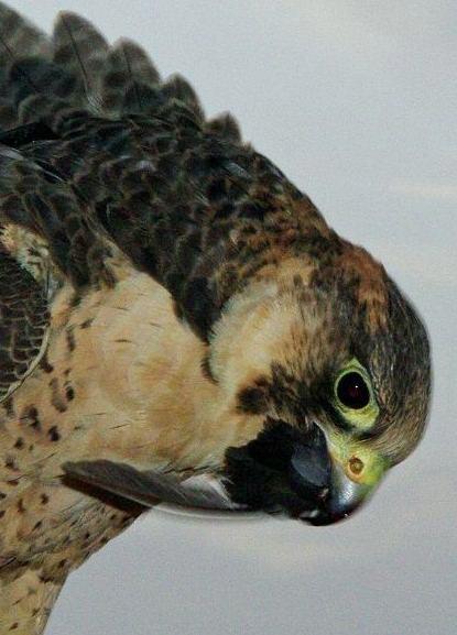 ハヤブサが鳥を食らう・・鷹狩(4)_c0067690_636962.jpg