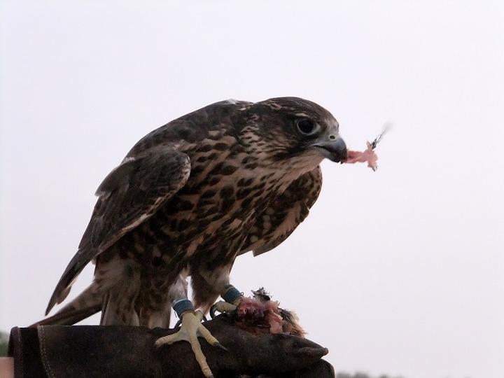 ハヤブサが鳥を食らう・・鷹狩(4)_c0067690_662059.jpg